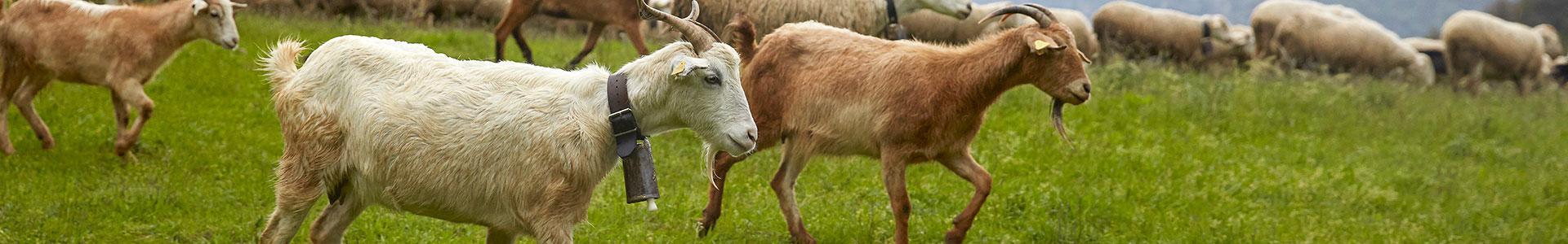الماعز