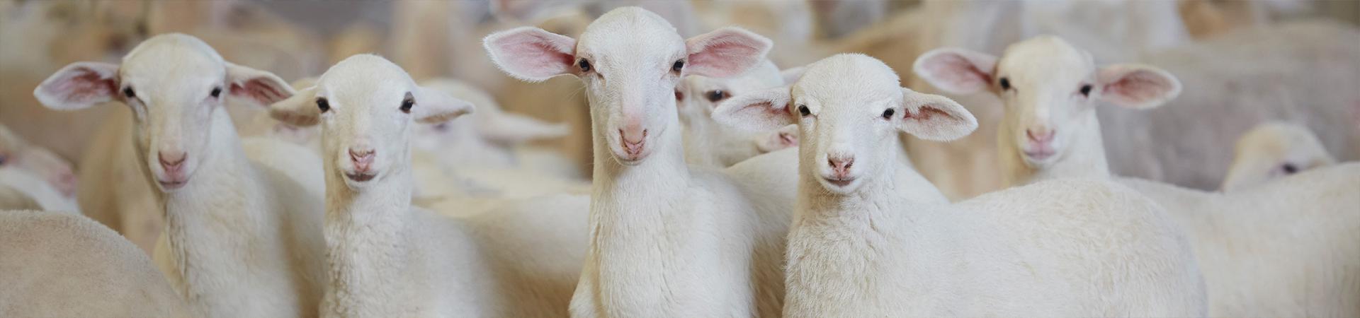 Comercializamos carne de ovino